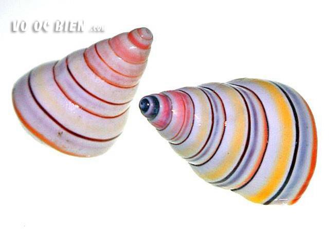 vỏ ốc snail candycane
