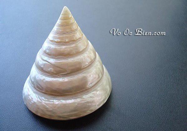 Vỏ ốc đụn cái xà cừ (Top Shell Polished Pearl)