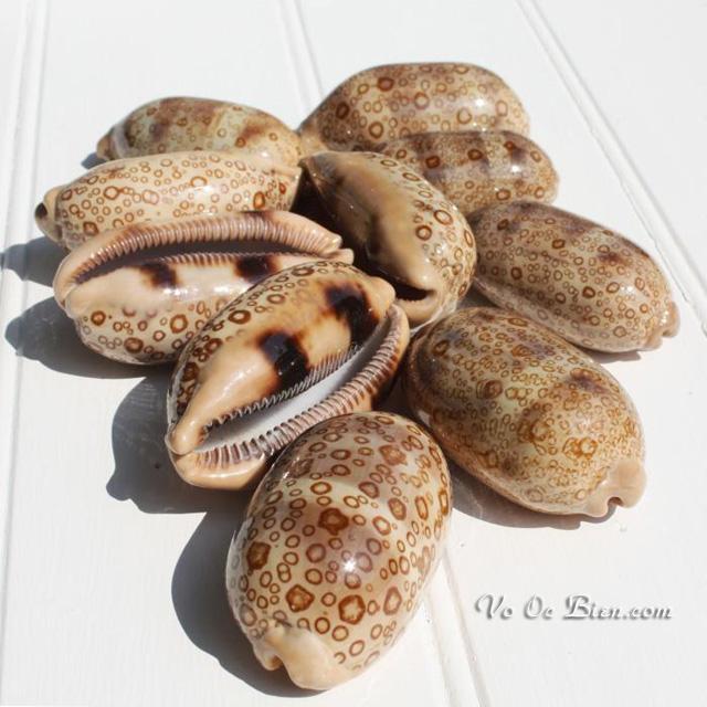 Vỏ ốc heo vân tròn (Eyed Cowrie Shell)