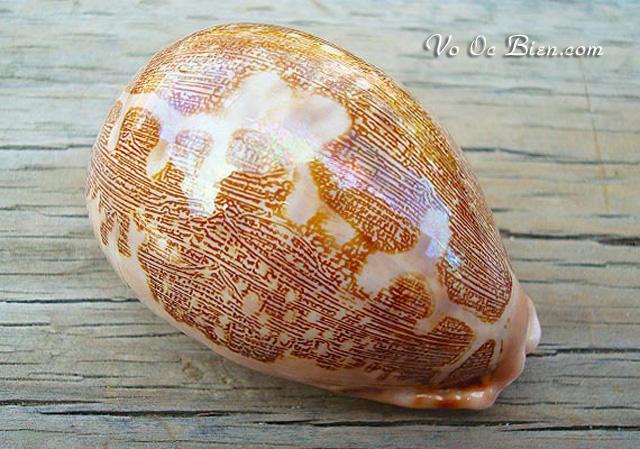Vỏ ốc sứ bản đồ (Map Cowrie Shell)