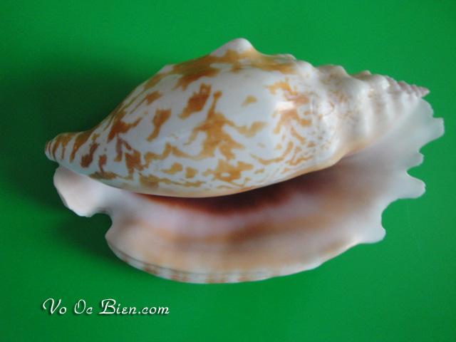 Vỏ ốc bàn tay miệng tím (Strombus Sinatus Shell)