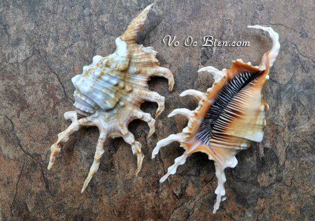 Vỏ ốc bò cạp (Scorpion Conch Seashell)