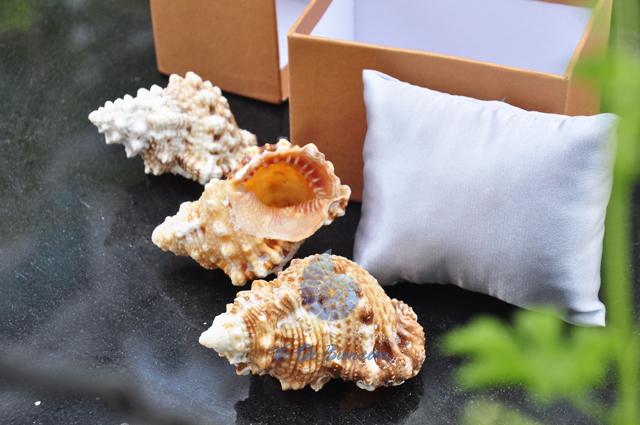 Vỏ ốc tù và gai cam nhí (Bursa Rubeta Shell)