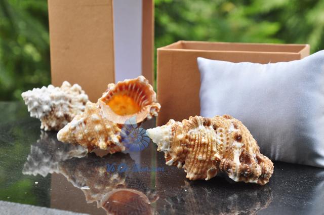 Vỏ ốc gai cam (Bursa Rubeta Shell) - hình chụp tại VoOcBien