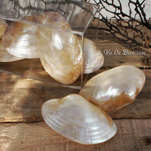 Vỏ trai vàng mài (Polished Clam Shell)