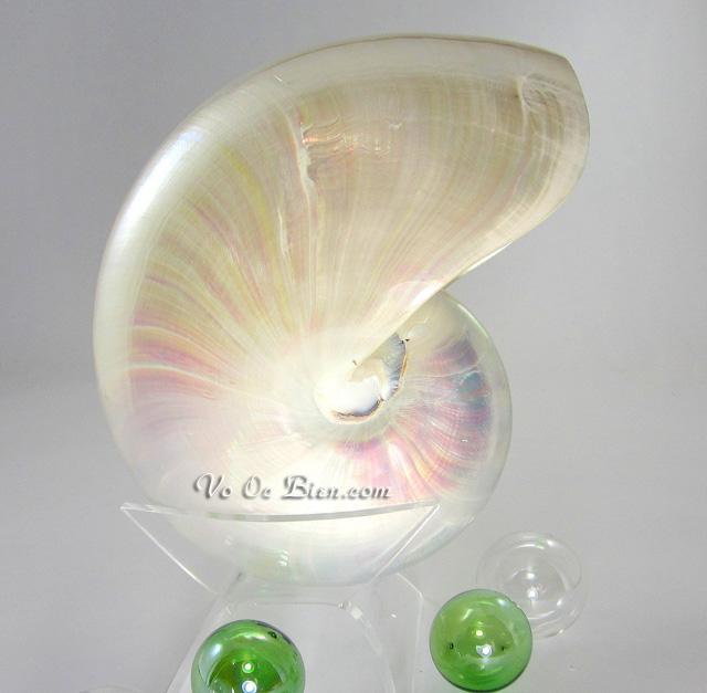 Vỏ ốc anh vũ mài (White Pearl Nautilus Seashell)