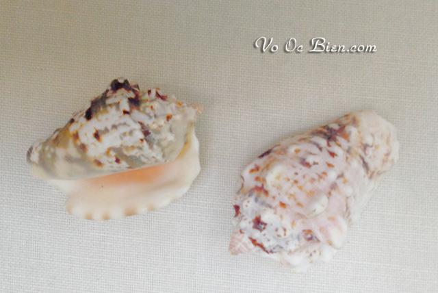Vỏ ốc bàn tay đốm đen (Conch Shells)