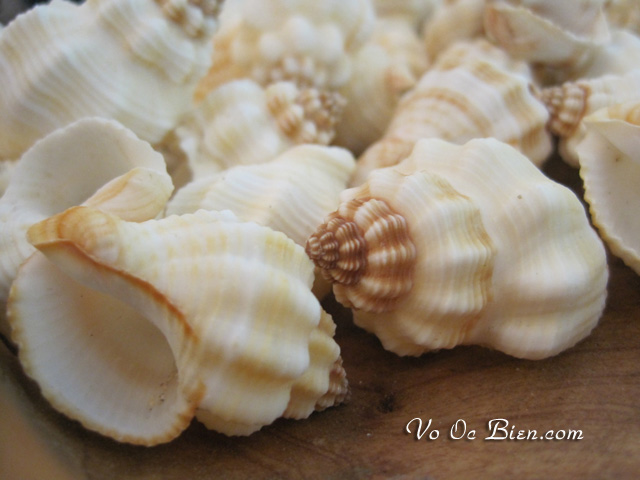 Vỏ ốc Cancellaria Shells