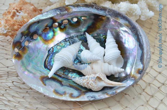 Vỏ ốc con quay trắng (White Spindle Shells) - © bản quyền hình ảnh thuộc VoOcBien