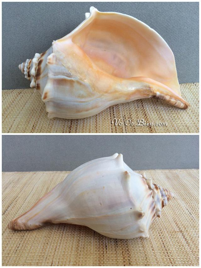 Vỏ ốc gai nho (Vintage whelk seashell)