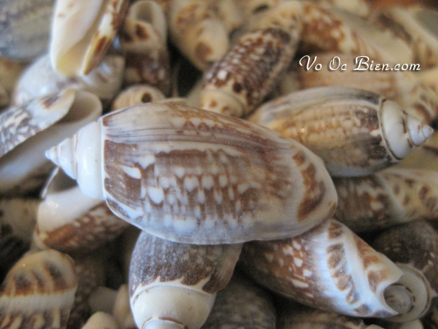 Vỏ ốc Olive Gibbosa (Olive Gibbosa Seashells)