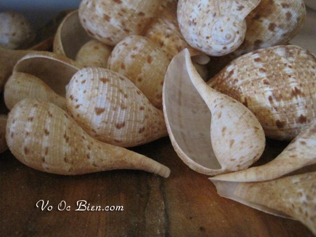 Vỏ ốc trái sung (Fig Shells)