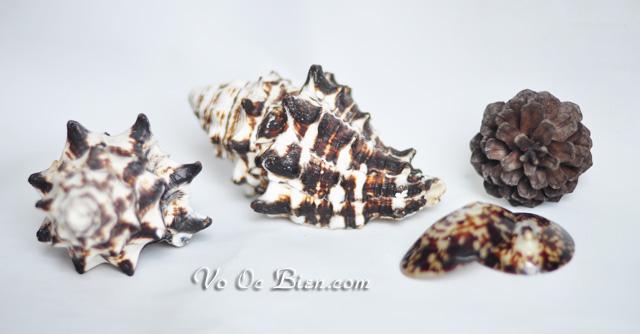 Vỏ ốc trái dứa gai đen