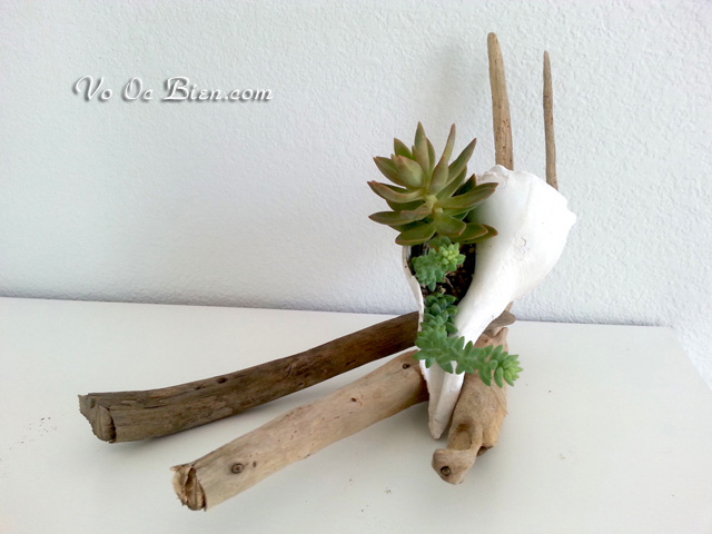 """Trang trí nhà với chậu trồng cây """"vỏ ốc Gai Nho"""""""