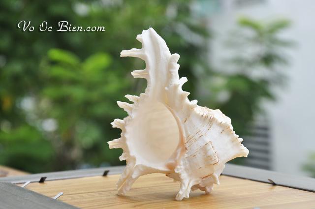 Vỏ ốc gai trắng baby (RAMOSUS MUREX BABY SEASHELL)