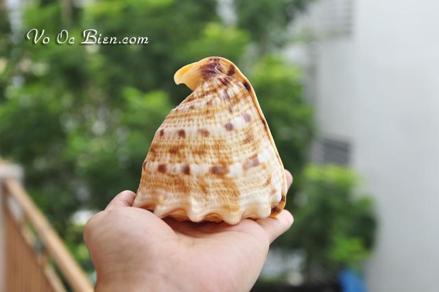 Vỏ ốc kim khôi vàng nhỏ (Yellow Helmet Baby Shell)