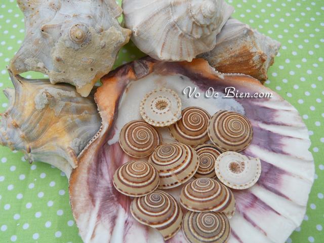 Vỏ ốc mặt trời (brown & white sundial seashells)