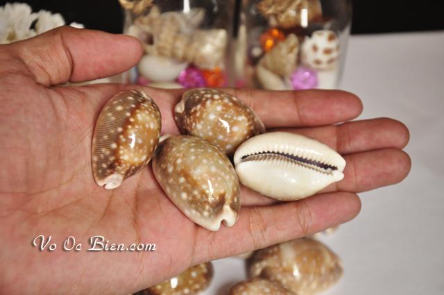 Vỏ ốc nga nâu vàng chấm bi trắng lớn