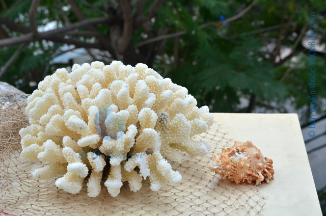 San hô bẹ chân đỏ cành lớn - © bản quyền hình ảnh thuộc VoOcBien