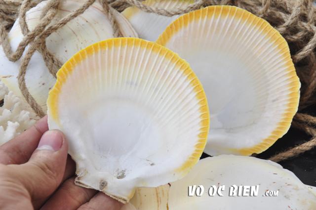 Vỏ điệp bơi viền vàng trắng (Japanese Moon Scallop)