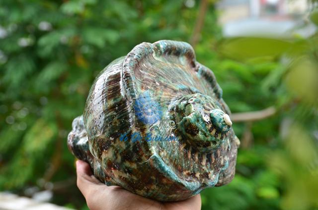 Vỏ ốc khảm xà cừ xanh lớn - © hình chụp tại VoOcBien