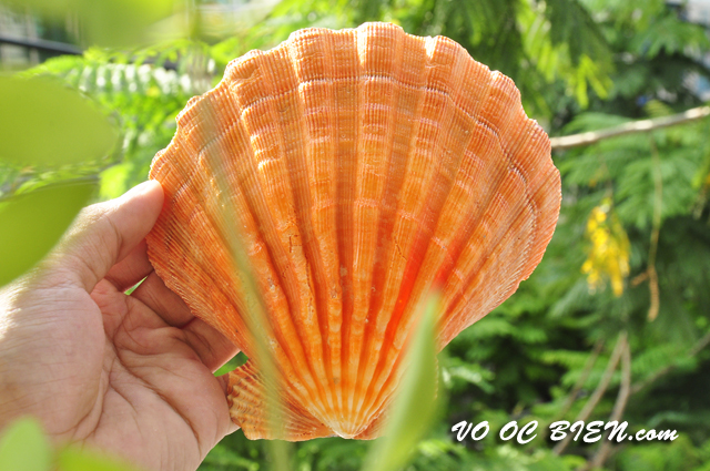 Vỏ sò điệp cam lớn