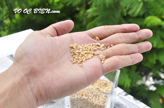 Vỏ ốc gạo vàng
