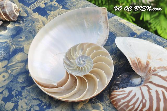 Vỏ ốc mực anh vũ cắt (Sliced Natural Nautilus Seashell)