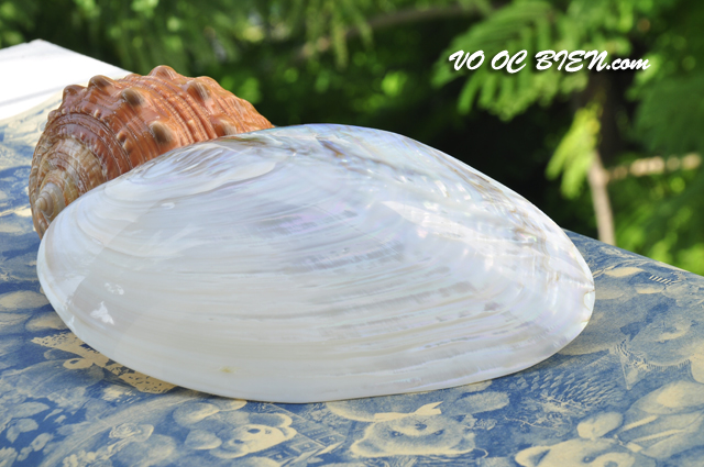 Vỏ trai trắng lớn (Polished Rainbow Clam)