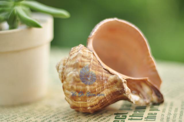 Vỏ ốc gáo Gastropod Seashell (hình chụp tại VoOcBien)