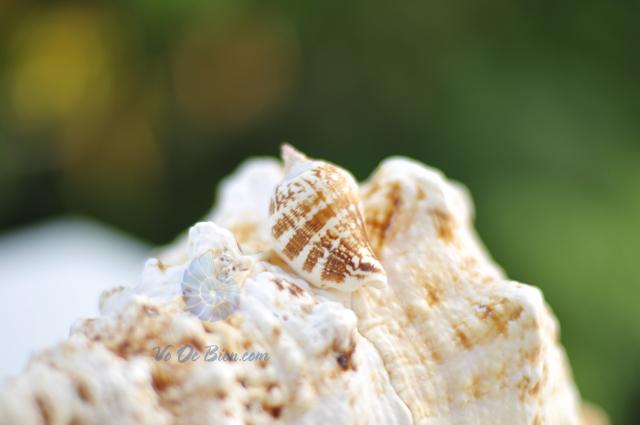 Vỏ ốc nhảy đốm ngắn (hình chụp tại VoOcBien.com)