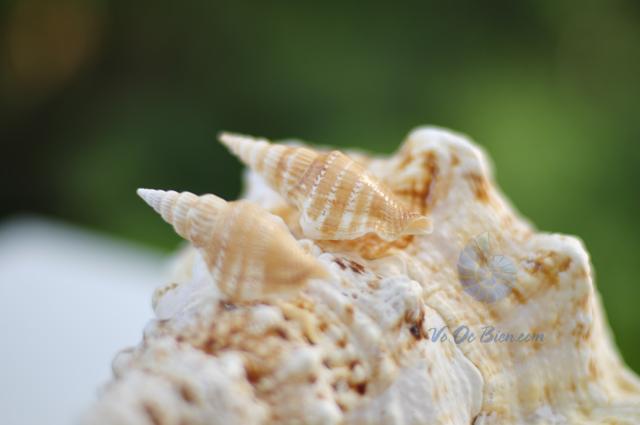 Vỏ ốc nhảy đuôi dài (hình chụp tại VoOcBien.com)