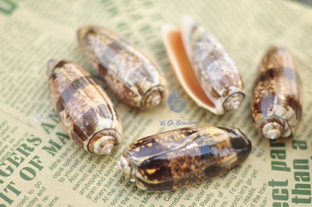 vo-oc-olive-snails-mieng-cam-orange-mouth-olive-snails (2)