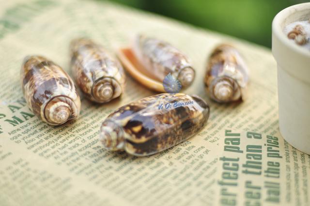 vo-oc-olive-snails-mieng-cam-orange-mouth-olive-snails (4)