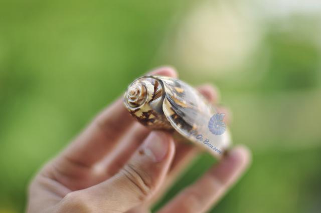 vo-oc-olive-snails-mieng-cam-orange-mouth-olive-snails (6)