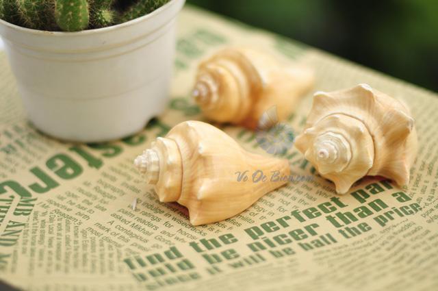 Vỏ ốc đùi gà vàng (hình chụp tại VoOcBien)