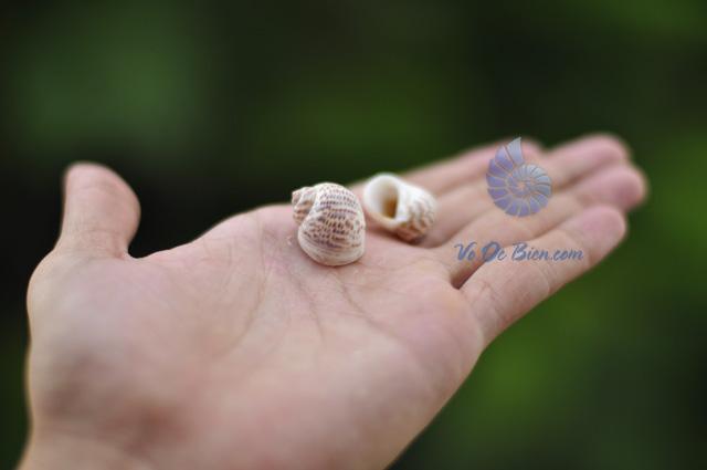 Vỏ ốc mỡ bông
