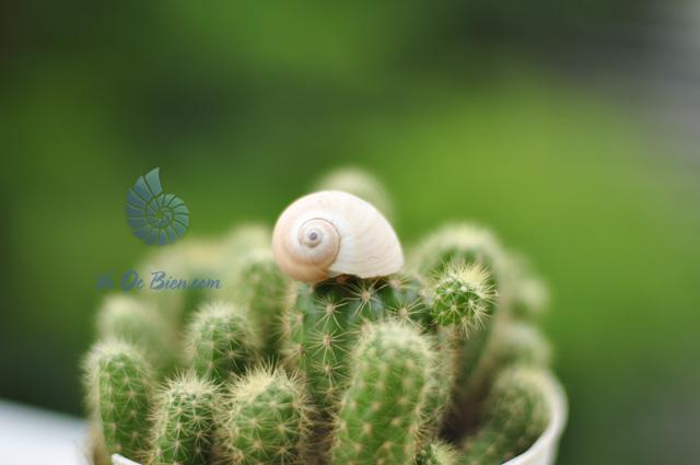 Vỏ ốc mỡ vạch nâu trắng (hình chụp tại VoOcBien)