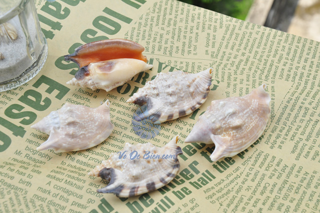Vỏ ốc nhảy Bulla ( Strombus Bulla Seashell) - hình chụp tại VoOcBien