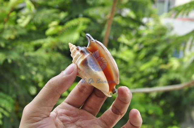 Vỏ ốc nhảy Bulla (Strombus Bulla Seashell)