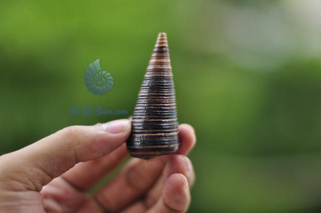 Vỏ ốc tháp sừng trâu (hình chụp tại VoOcBien)