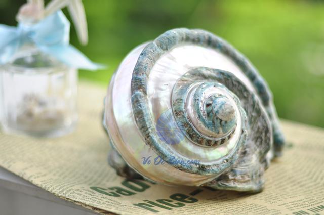 Vỏ ốc xà cừ xanh lớn mài kẻ vạch (hình chụp tại VoOcBien)