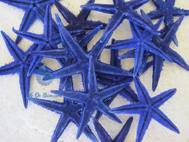Sao biển nhí nhuộm xanh (Blue Mini Starfish)