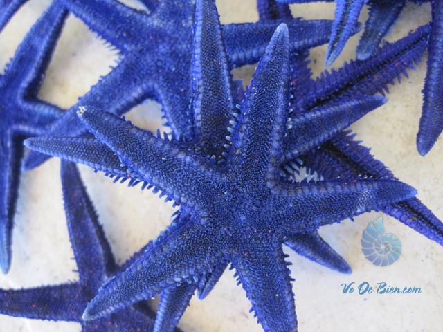 Sao biển nhỏ nhuộm xanh (Blue Mini Starfish)