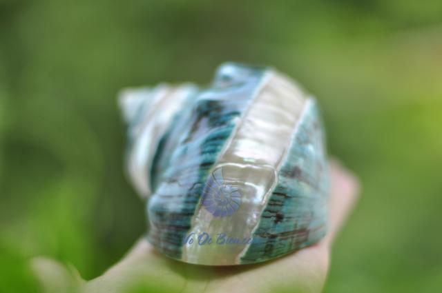 Vỏ ốc khảm xanh nhỏ kẻ vạch (Pearl Banded Green Snail Shell) - hình chụp tại VoOcBien