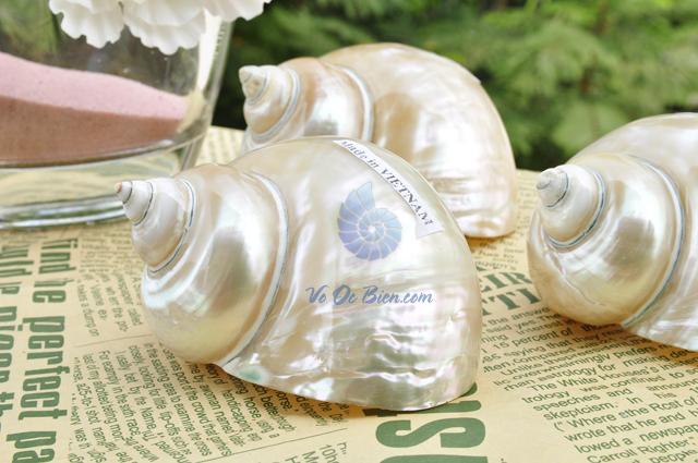 Vỏ ốc khảm xanh nhỏ mài xà cừ (Polished Pearled Green Snail Shell) - hình chụp tại VoOcBien
