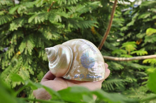 Vỏ ốc khảm xanh nhỏ mài xà cừ (Polished Pearled Green Snail Shell)