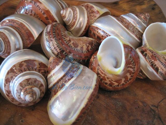 Vỏ ốc xà cừ đỏ kẻ vạch (Turbo Shell)