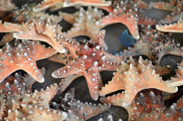 Sao biển gai lớn (Red Starfish)