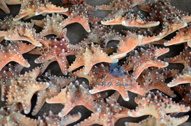 Sao biển đỏ gai (Red Starfish) - hình chụp tại VoOcBien